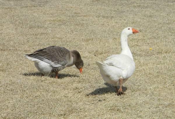 Photo Pilgrim Geese - Mated Trios - $100 (Canon City)