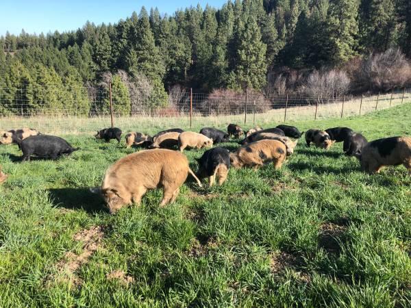 Photo Low cost heritage pork - $50 (Near potlatch)