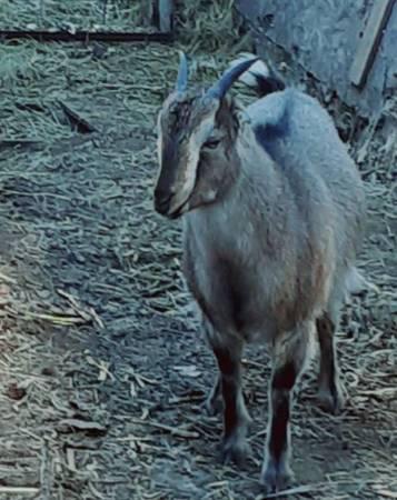 Photo Mini lamarca goats - $75 (Rapid city SD)