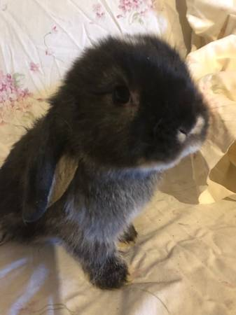 Photo beautiful little Mini Lop Bunny rabbits some with blue eyes - $125 (morgantown)