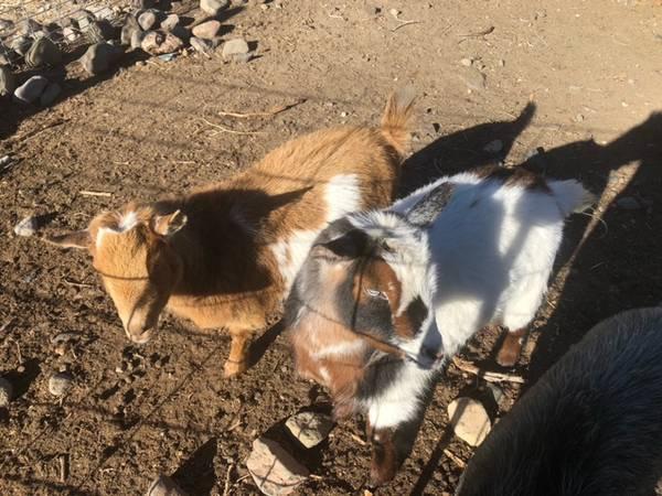 Photo Goats, Mini Pigs - pending pickup - $25 (Reno)