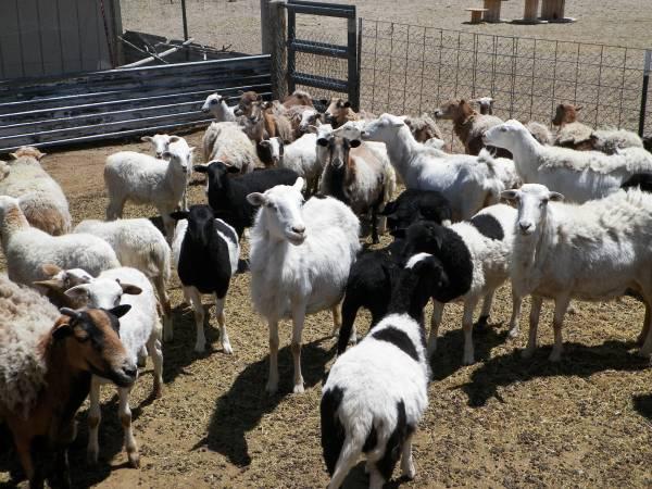 Photo Lambs, Sheep. (Reno, Red Rock)