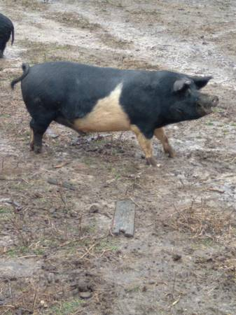 Photo Hog for sale 18 month old castrated male aprox. 300lbs. - $325 (Amelia Va 23002)