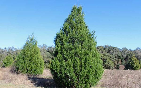 Photo Cedar Trees available (Westlake - Franklin County, VA)