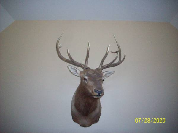 Photo Beautiful Elk Shoulder Mount - $450 (Paw Paw)