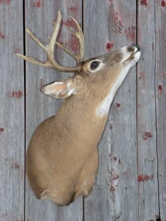 Photo moose antlers whitetail deer shoulder mounts cabin or mancave decor - $100 (Monroe, wi)