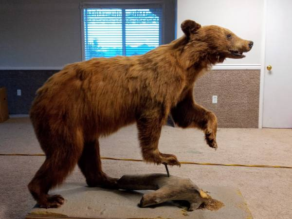 Photo CO Cinnamon Black Bear and White-Tail mount - $500 (Colorado)