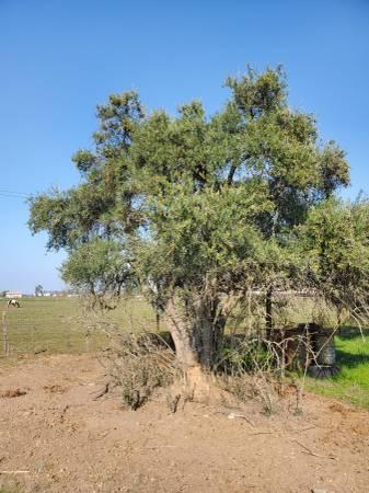 Photo Free Big Fruitful Olive Trees Olive Tree (Sacramento)