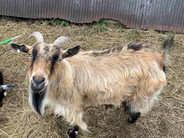 Photo Goat Adult female for sale - $160 (Midland)