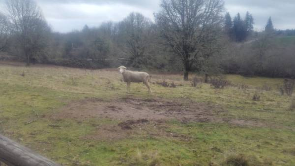 Photo Dorset cross ram - $150 (Scio)