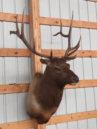 Photo Elk Shoulder Mount $1499 OBO - $1499 (ERIE)