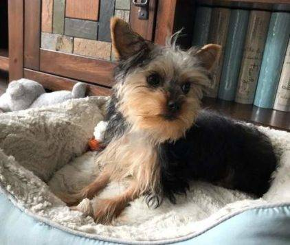 Photo Yorkie looking for new home (West jordan)
