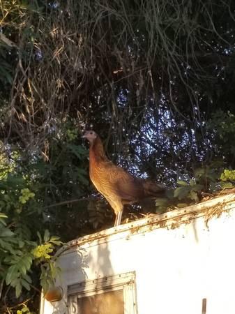 Photo Gamefowl gallos gallinas rooster (San diego)