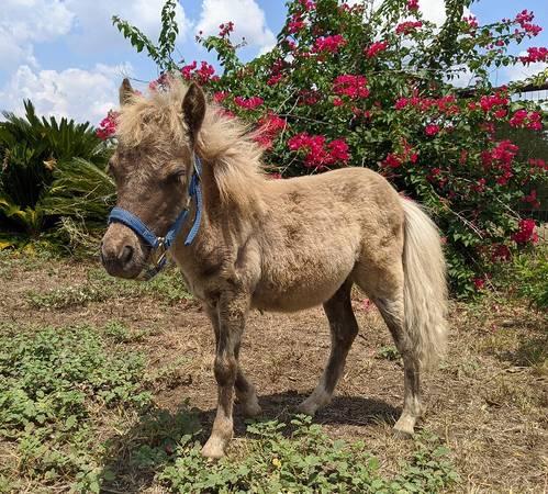 Photo Male Mini Horse Baby Tame Pet - $1,200 (Kingsbury)