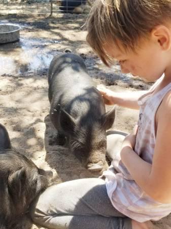 Photo Heritage American Guinea Hogs - $100 (Arroyo Grande)
