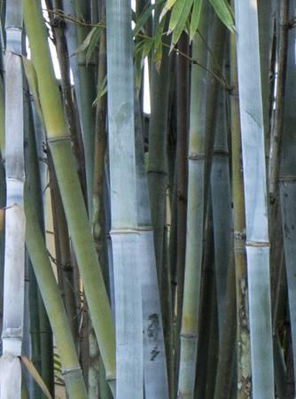 Photo Clumping Tropical Blue Bamboo 6 to 8 Feet Tall 3 Gallon $45 - $45 (MYAKKA)