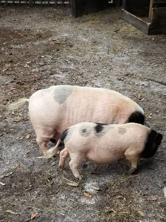 Photo Mini Potbelly Pigs - $75 (Myakka City)
