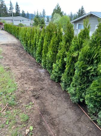 Photo Emerald Green Arborvartie - $17 (Woodburn Oregon)
