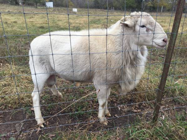 Photo Katahdin Ram - $150 (Fontana, KS)