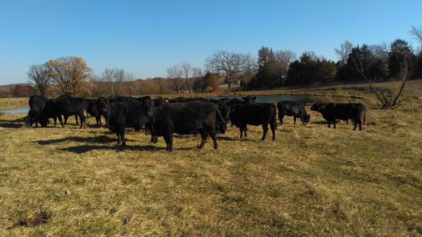Photo 80 black and bwf p2 and p3 cows - $1,400 (Otterville)