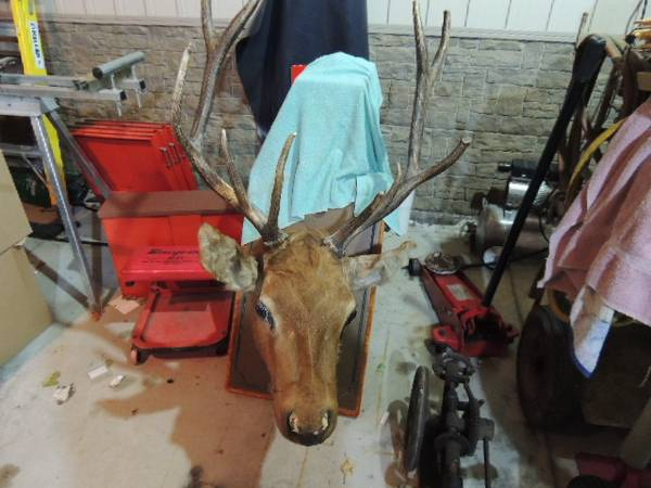 Photo Elk head mount - $225 (Plymouth WI)