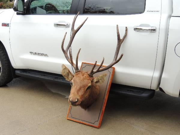 Photo Elk head mount (special) - $125 (Plymouth WI)