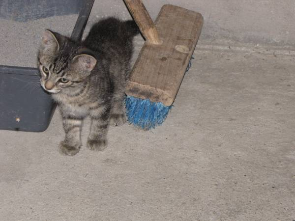 Photo Free Kitten to a good home - $1 (Gibbsville Wi)