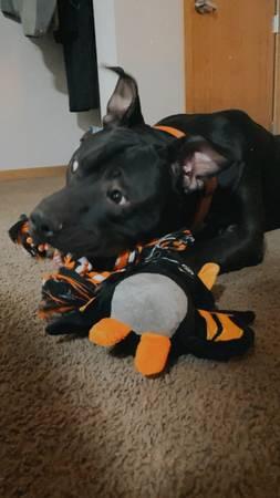 Photo Black and white pitbull (Marshall)