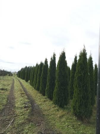 Photo Emerald Green Arborvitae - $18 (Mount Vernon)