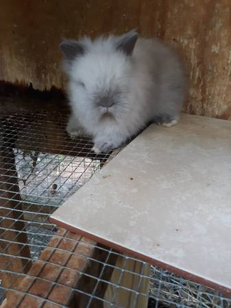 Photo Adult and baby rabbits - $15 (Leonardtown)