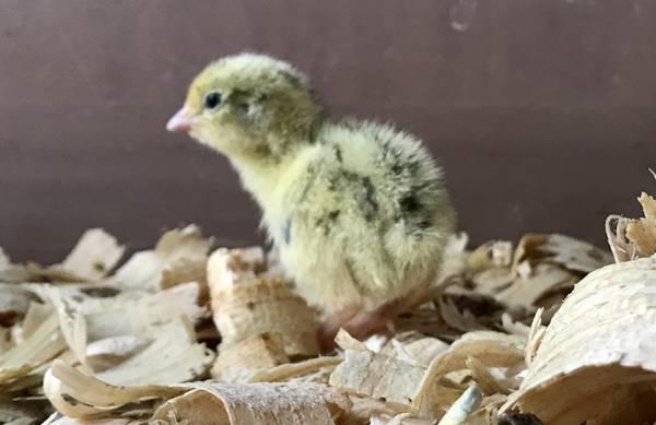 Photo Rare Jumbo White Pearl Coturnix Quail Baby Chicks - $2