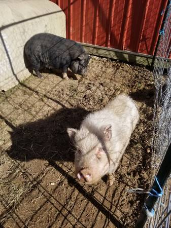 Photo potbelly adult 1 years old white male and black female - $200 (Greenwich)