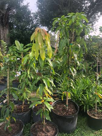 Photo Valencia pride mango plant tree - $150 (Melbourne)
