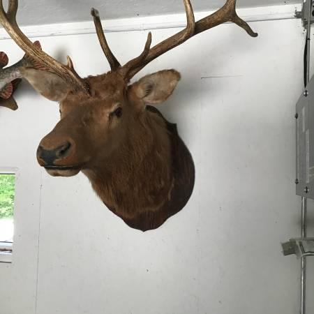 Photo Elk mount - $500 (Cold spring)