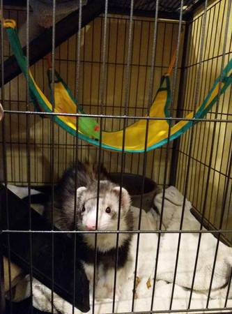 Photo 2 male ferrets plus cage - $450