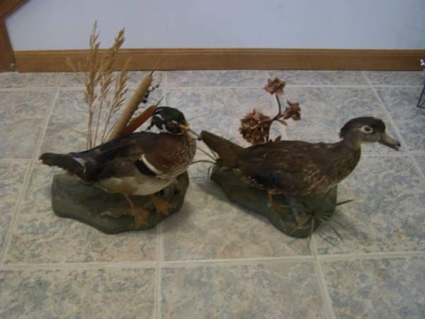 Photo wood duck taxidermy pair - $80 (St Joseph, MO)