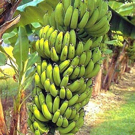 Photo Banana trees starts at 100.00 5ft tall - $100 (st louis)