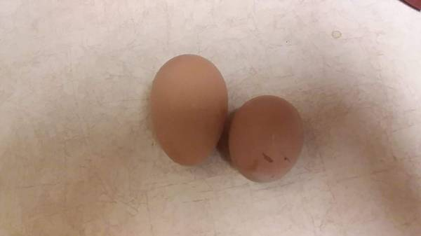 Photo New deal Easter Egger, Rhode Island Red and Barred Rock Pullets (Jerseyville IL)