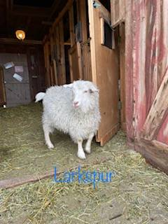 Photo Goats looking for new homes - $100 (Port Austin)