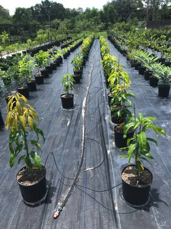Photo Grafted Mango Trees Carrie - $35 (Palm City)
