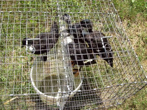 Photo Pairs of Black and White Bantam Ducks - $35 (Baileyton)