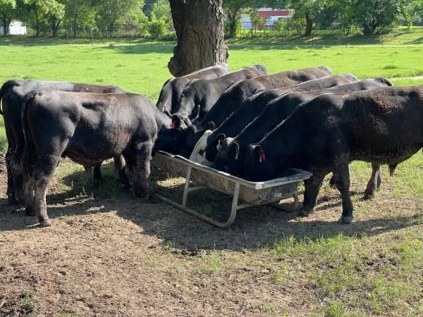Photo 15-18 Month old Angus Bulls - $1,500 (Muskogee)