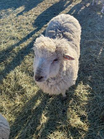 Photo Sheep Dairy and Fiber Lambs, Ewes, Rams - $150 (Bellevue)