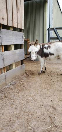 Photo palmetto miniature donkey - $900 (Nashville)