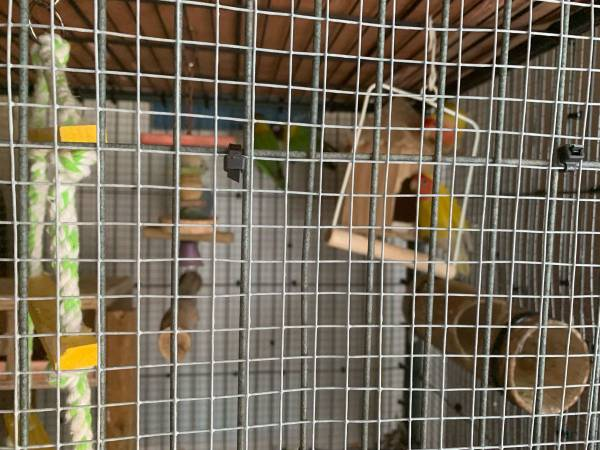 Photo aviary with 5 Love birds, toys , 2 extra cages - $600 (Hubbard)