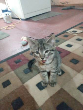 Photo Two male kittens free to a good home (Van Horne Iowa)