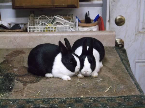 Photo Purebred Dutch rabbits - $20 (Wenatchee, WA)