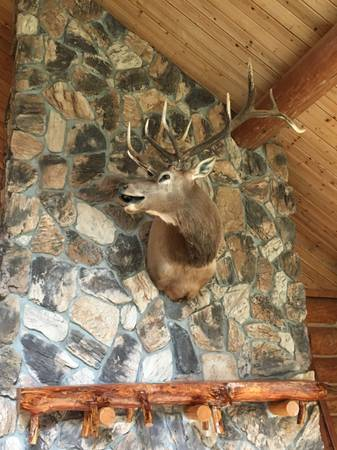 Photo Rocky Mountain Elk Head Taxidermy Mount For Sale - $700 (Bellingham, WA)