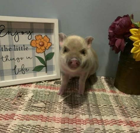 Photo Pet Mini Pigs - $400