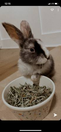 Photo Bunny for sale (Wilmington nc)